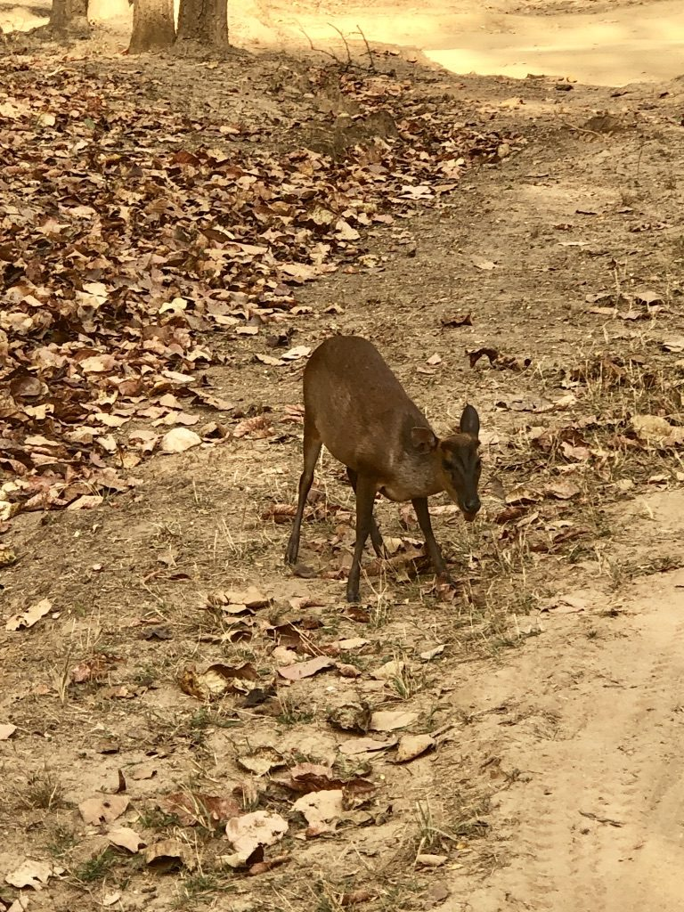 pugdundee-safaris-travelogue-kanha-diaries-barkingdeer