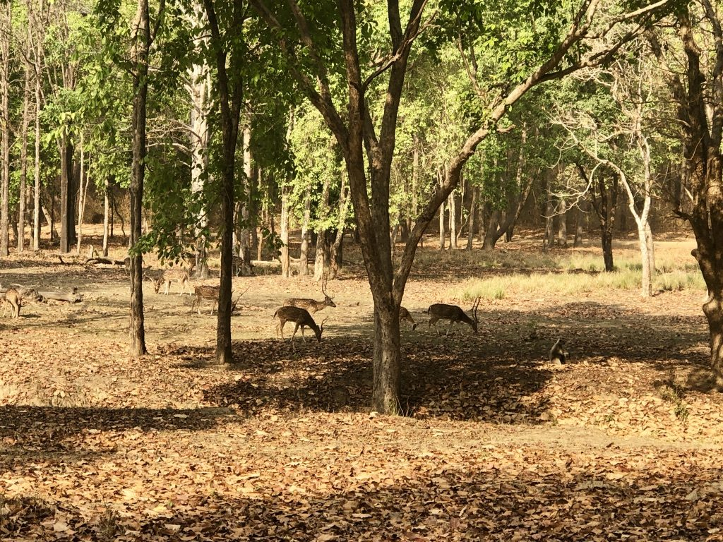 pugdundee-safaris-travelogue-kanha-diaries-forest