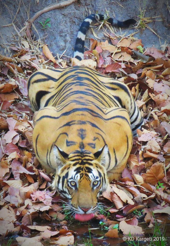 Pugdundee-safaris-newsletter-tiger-darrah-male