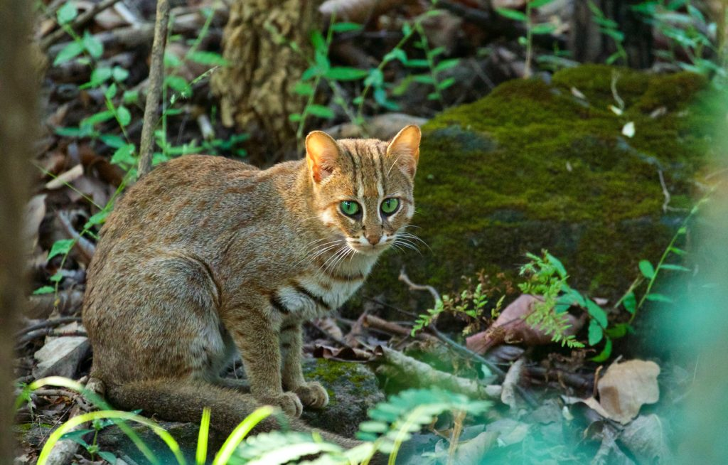 travel-blog-experiences-in-satpura-pugdundee-safaris-rusty-spotted-cat