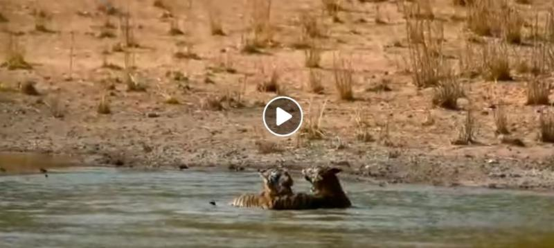 Pugdundee-safaris-newsletter-tigers-playing-in-water