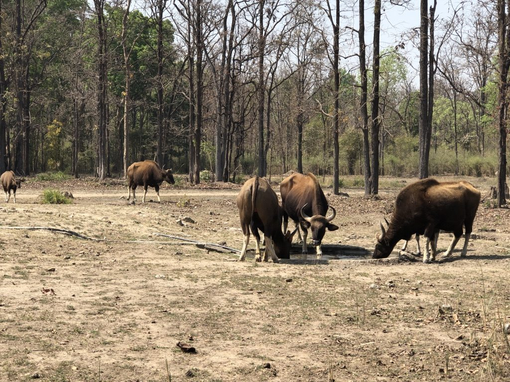 travel-diary-kanha-diaries-part-2-law-of-the-jungle-pugdundee-safaris-family-of-gaur