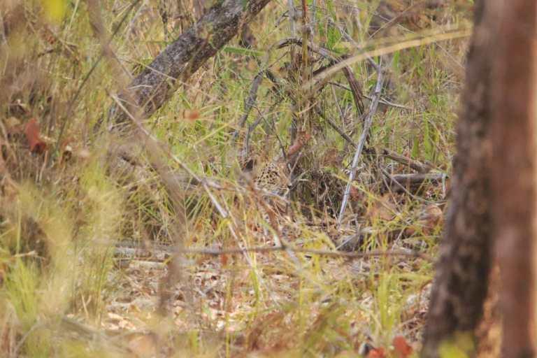 travel-diary-kanha-diaries-part-2-law-of-the-jungle-pugdundee-safaris-leopard