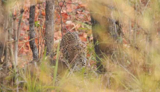 travel-diary-kanha-diaries-part-2-law-of-the-jungle-pugdundee-safaris-leopard-in-bushes