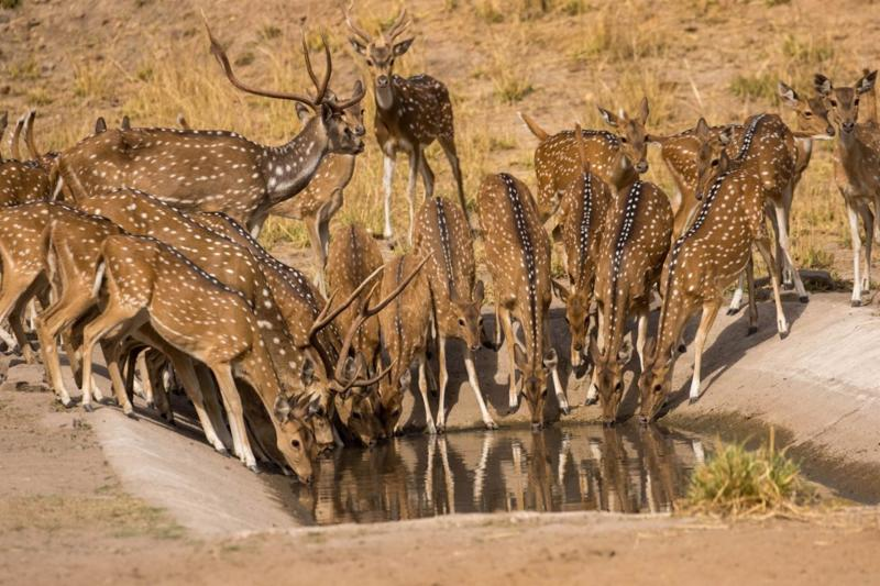 Pugdundee-safaris-newsletter--spotted-deer