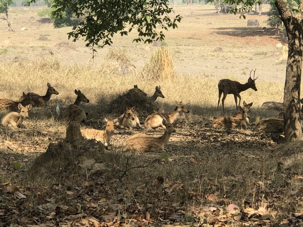 travel-diary-kanha-diaries-part-2-law-of-the-jungle-pugdundee-safaris-herd-of-spotted-deers