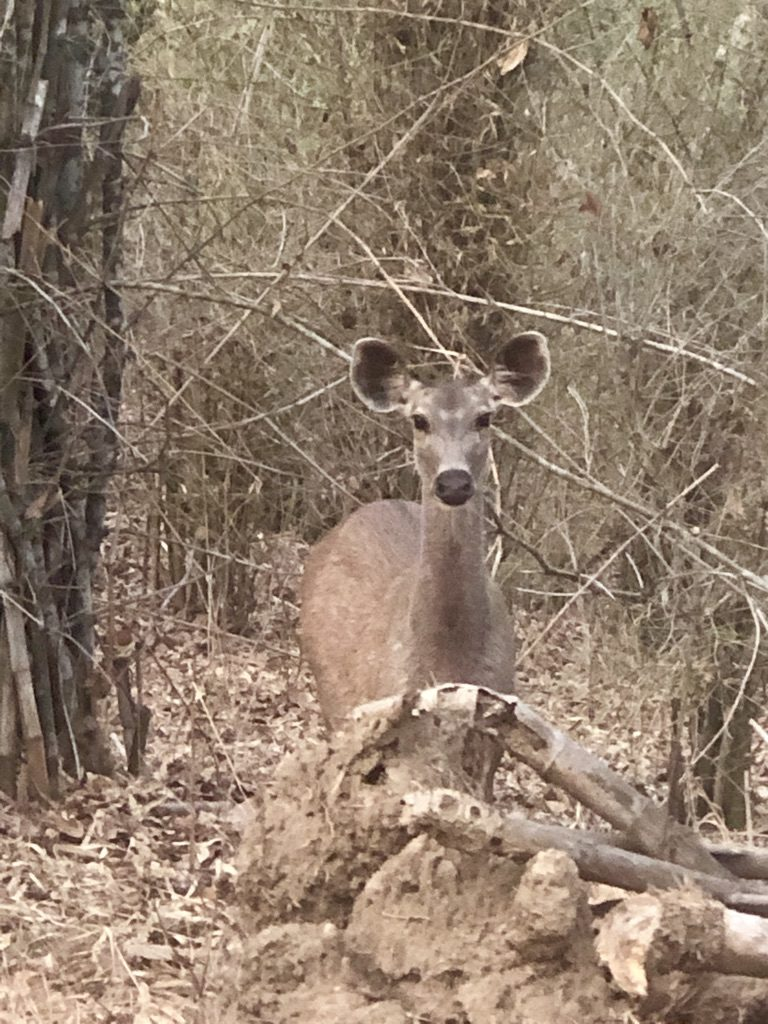 travel-diary-kanha-diaries-part-2-law-of-the-jungle-pugdundee-safaris-sambar-deer