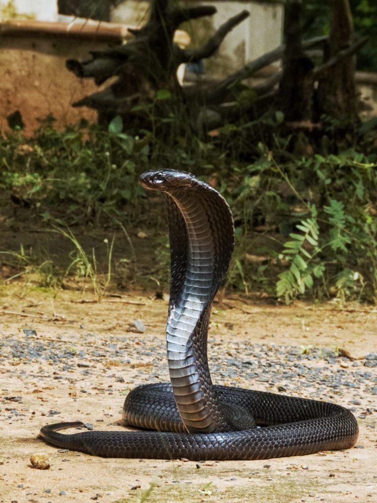 Pugdundee-safaris-naturalist-training-program-cobra