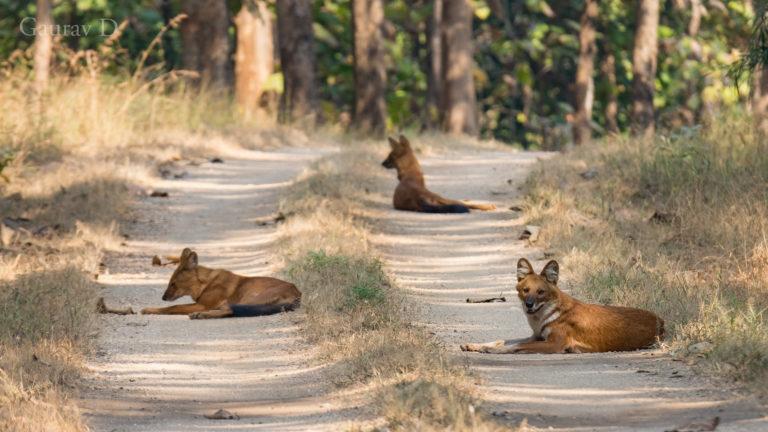 pugdundee-safaris-wild-dogs-dholes