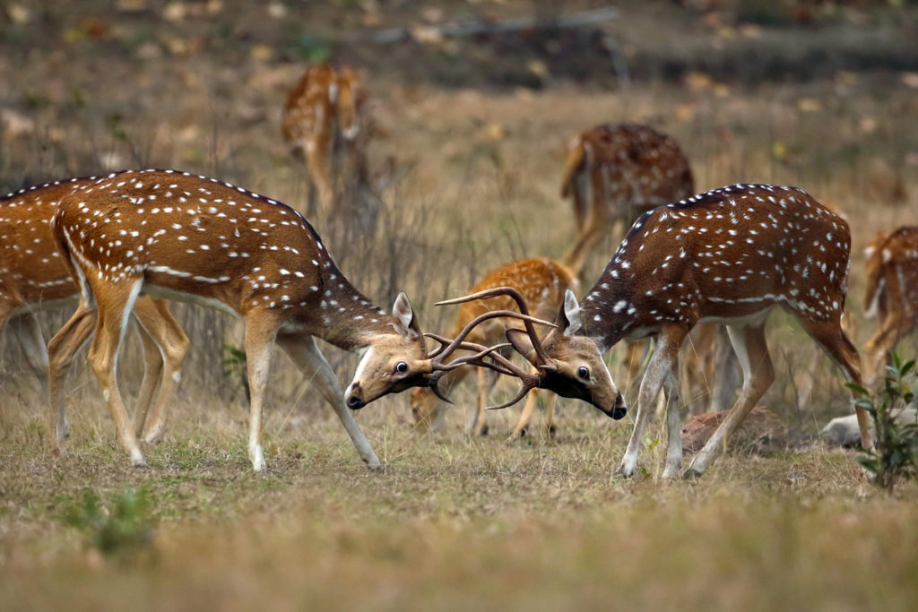 pugdundee-safaris-ruttling-spotted-deers