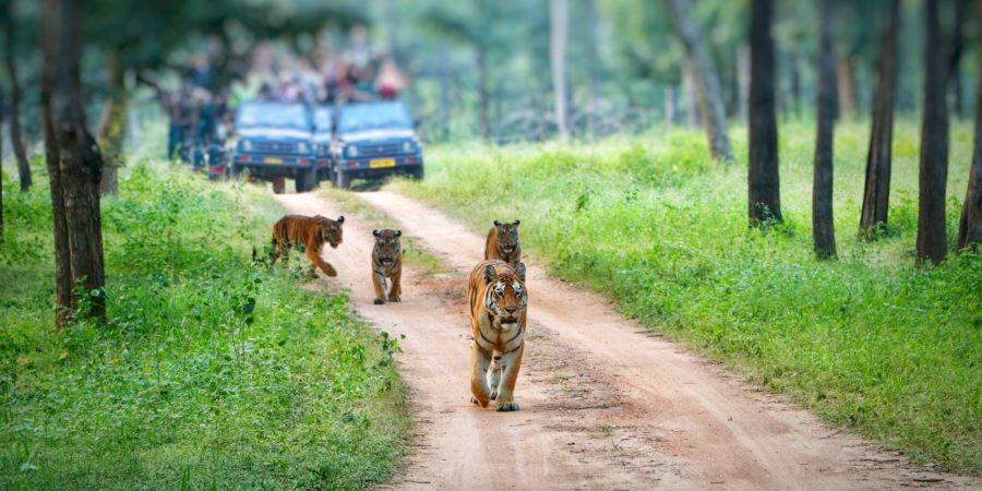 Pugdundee-safaris-TIGER-SAFARI-IN-INDIA-Top-5-Tips-for-Tiger-Safari-in-India-tigercubs