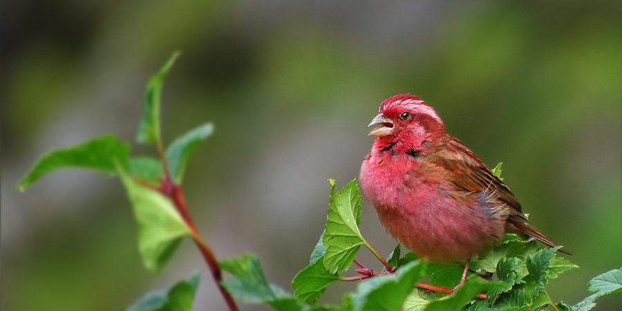 Pugdundee-safaris-I-love-sparrows-celebrating-sparrow-day-2020