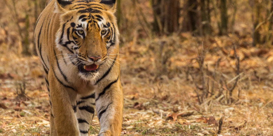 Pugdundee-safaris-tiger-safaris--in-tadoba