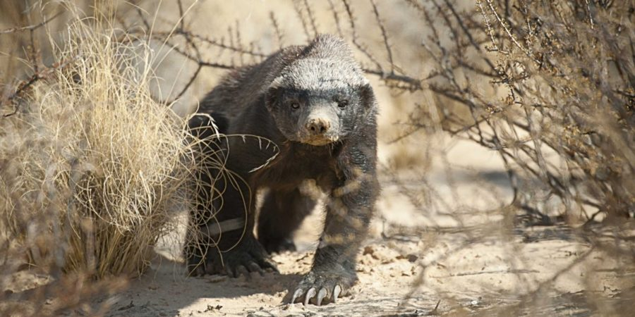 pugdundee-safaris-flora-and-fauna-spotting-worlds-most-fearless-animal-in-satpura-honey-badger-honeybadger