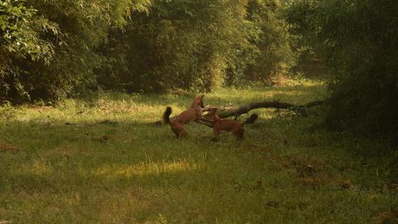 wild-dogs-in-satpura