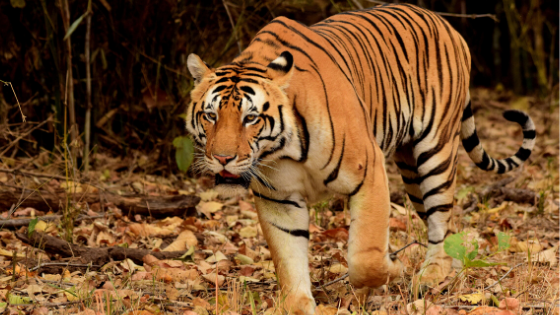 Bajrang-tigers-in-kanha