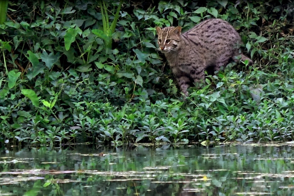 Wild Cats Of India Big Cats Of India Small Cats
