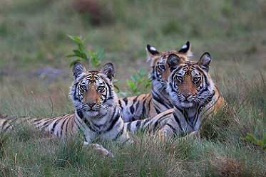 Tiger Safaris