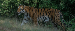 Chasing Tigers in India National Park Bandhavgarh